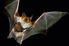 bat, pipistrello, escursione, ruvo, di, puglia